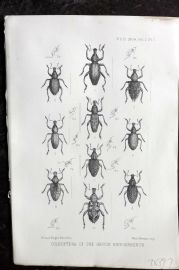 PZS 1904 Antique Hand Col Print. Coleoptera of the Genus Hipporrhinus. Insects 1